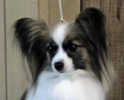 Papillon Breeder AKC Champion